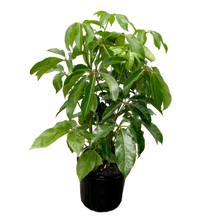 Load image into Gallery viewer, Schefflera actinophylla 'Amate' <br> Umbrella Tree