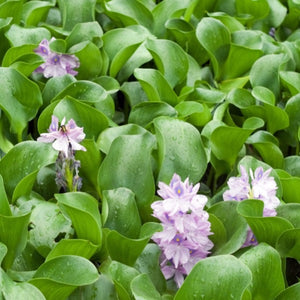 Eichhornia crassipes major <br> Floating Water Hyacinth