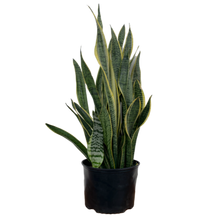 Load image into Gallery viewer, Dracaena trifasciata <br> 'Laurentii' <br> Snake Plant