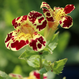 Mimulus luteus <br> Yellow Monkey Flower