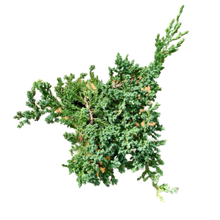 Load image into Gallery viewer, Juniperus procumbens <br> 'Nana' <br> Pre-Finished Bonsai