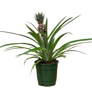 Ananas comosus <br> Mini-Pineapple