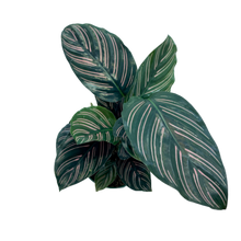 Load image into Gallery viewer, Calathea ornata - Pinstripe Prayer Plant