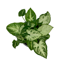 Load image into Gallery viewer, Syngonium podophyllum <br> 'White Butterfly' <br> Arrowhead Vine