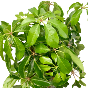 Schefflera actinophylla 'Amate' <br> Umbrella Tree