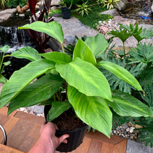 Load image into Gallery viewer, Calathea loeseneri <br> Brazilian Star Prayer Plant