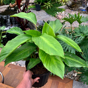 Calathea loeseneri <br> Brazilian Star Prayer Plant