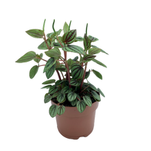 Load image into Gallery viewer, Peperomia sp. <br> Piccolo Banda