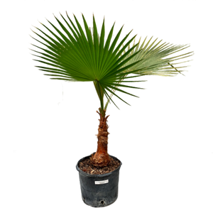 Washingtonia robusta <br> Mexican Fan Palm