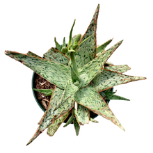 Load image into Gallery viewer, Aloe sp. <br> 'Pink Blush'