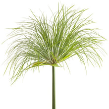 Load image into Gallery viewer, Cyperus papyrus <br> Umbrella Papyrus