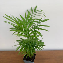 Load image into Gallery viewer, Chamaedorea elegans - Parlour Palm