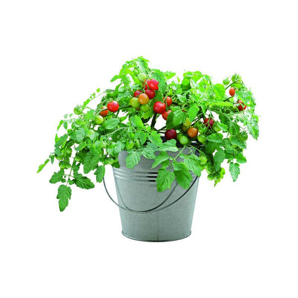 Gift Bucket with Cherry Tomato Seeds