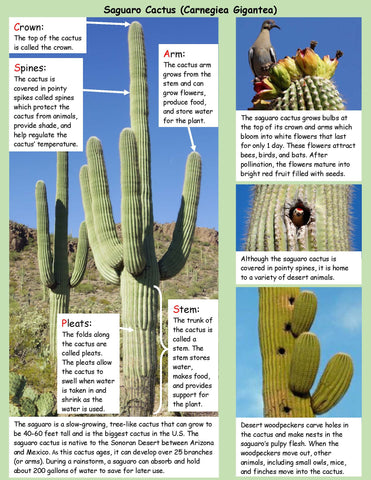 Saguaro Cactus Life Cycle Board