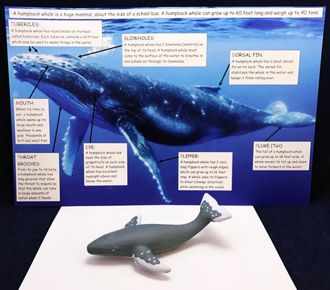 Learn about the humpback whale. Information board and realistic humpback whale toy.