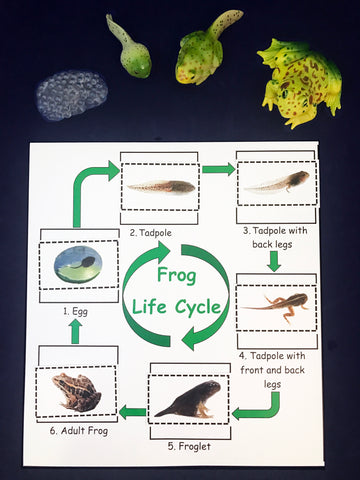 Frog Life Cycle inspired by Fish is Fish book