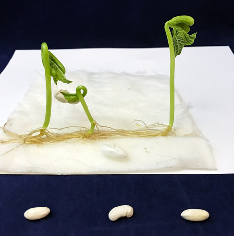 green bean germination bean plant