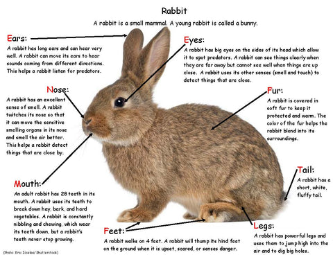 Bunny Facts - Rabbit body parts