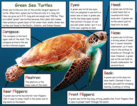 All about green sea turtles