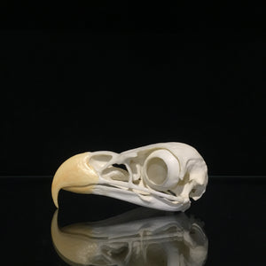 Bald Eagle Skull Reproduction