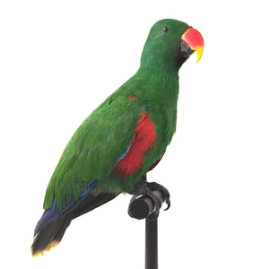 Eclectus Male Parrot Taxidermy