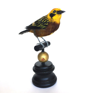 Golden Tanager Taxidermy