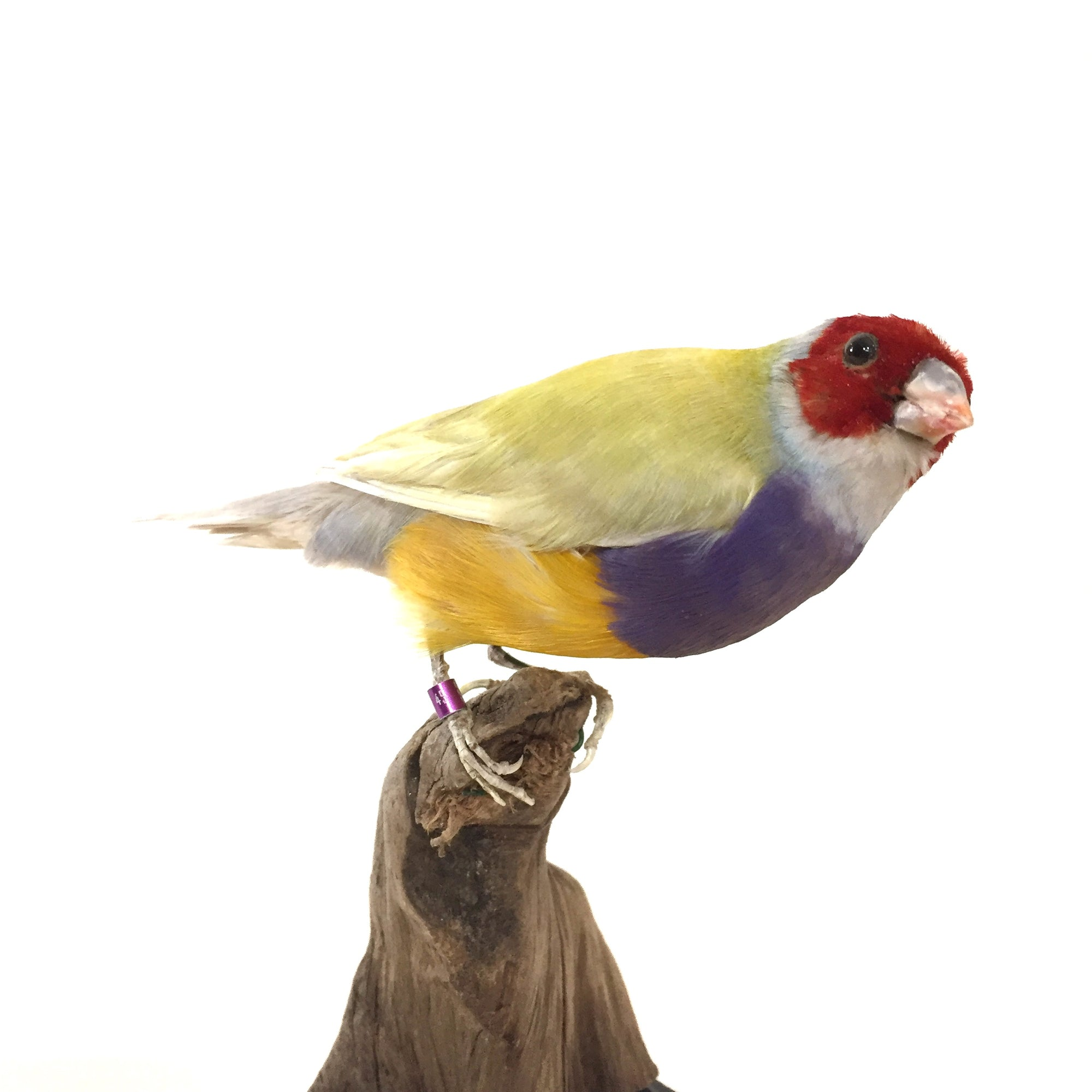 Yellow Backed Lady Gouldian Finch Taxidermy