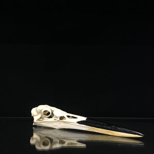 Great Blue Heron Skull Reproduction