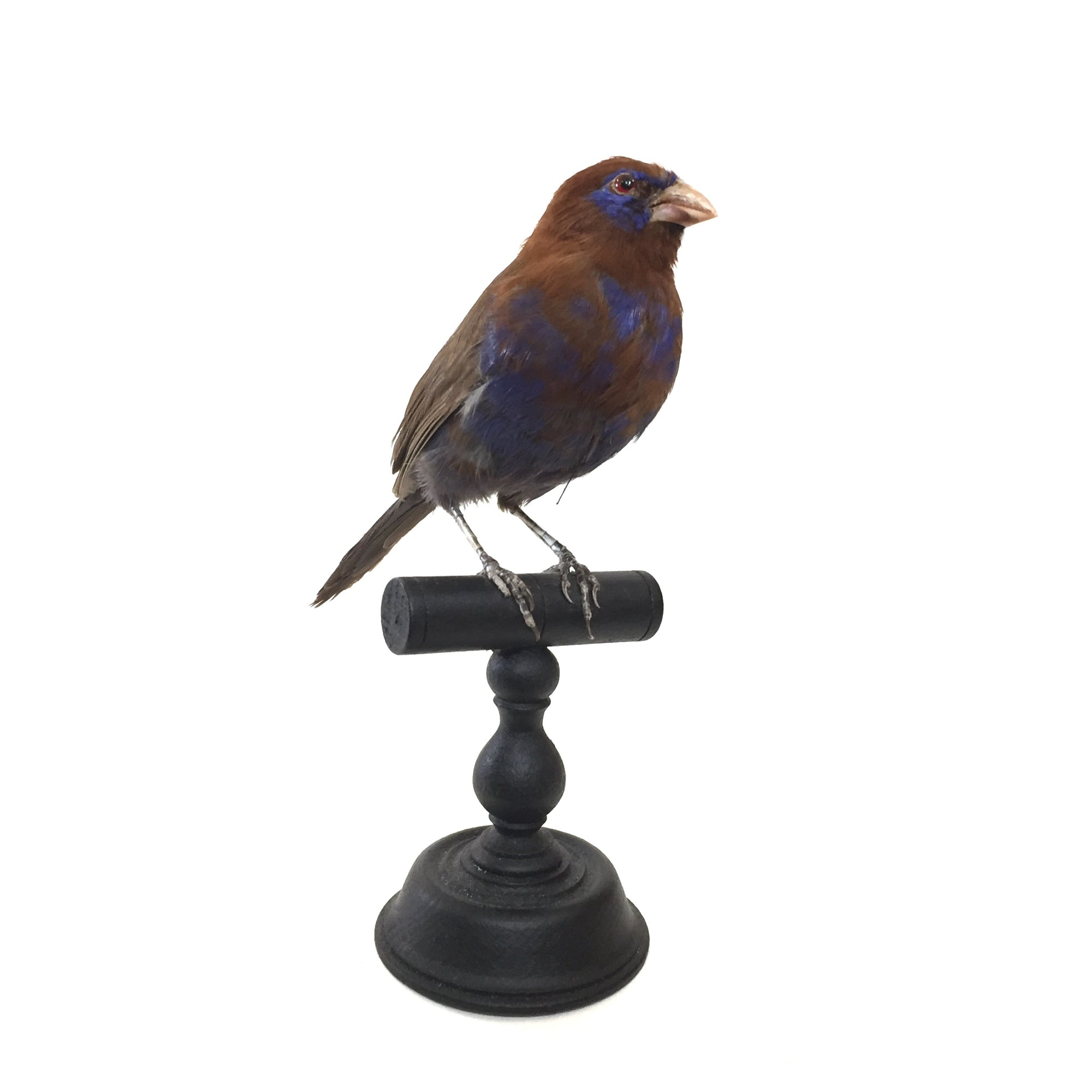 Purple Grenadier Taxidermy Bird