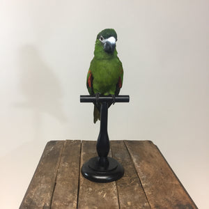 Hahn's Macaw Taxidermy Mount