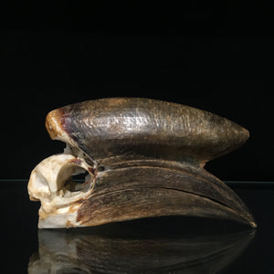 Male Black Casqued Hornbill Skull 3