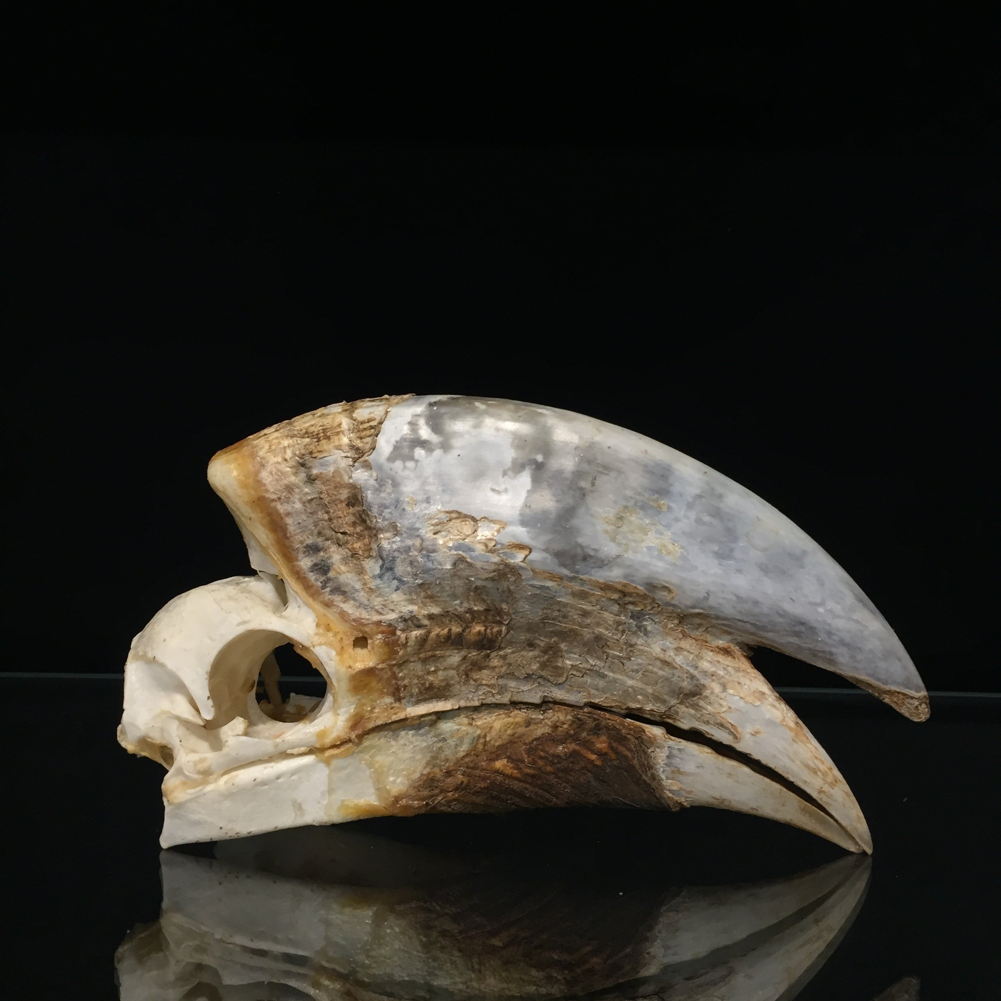 Male Black Casqued Hornbill Skull 1