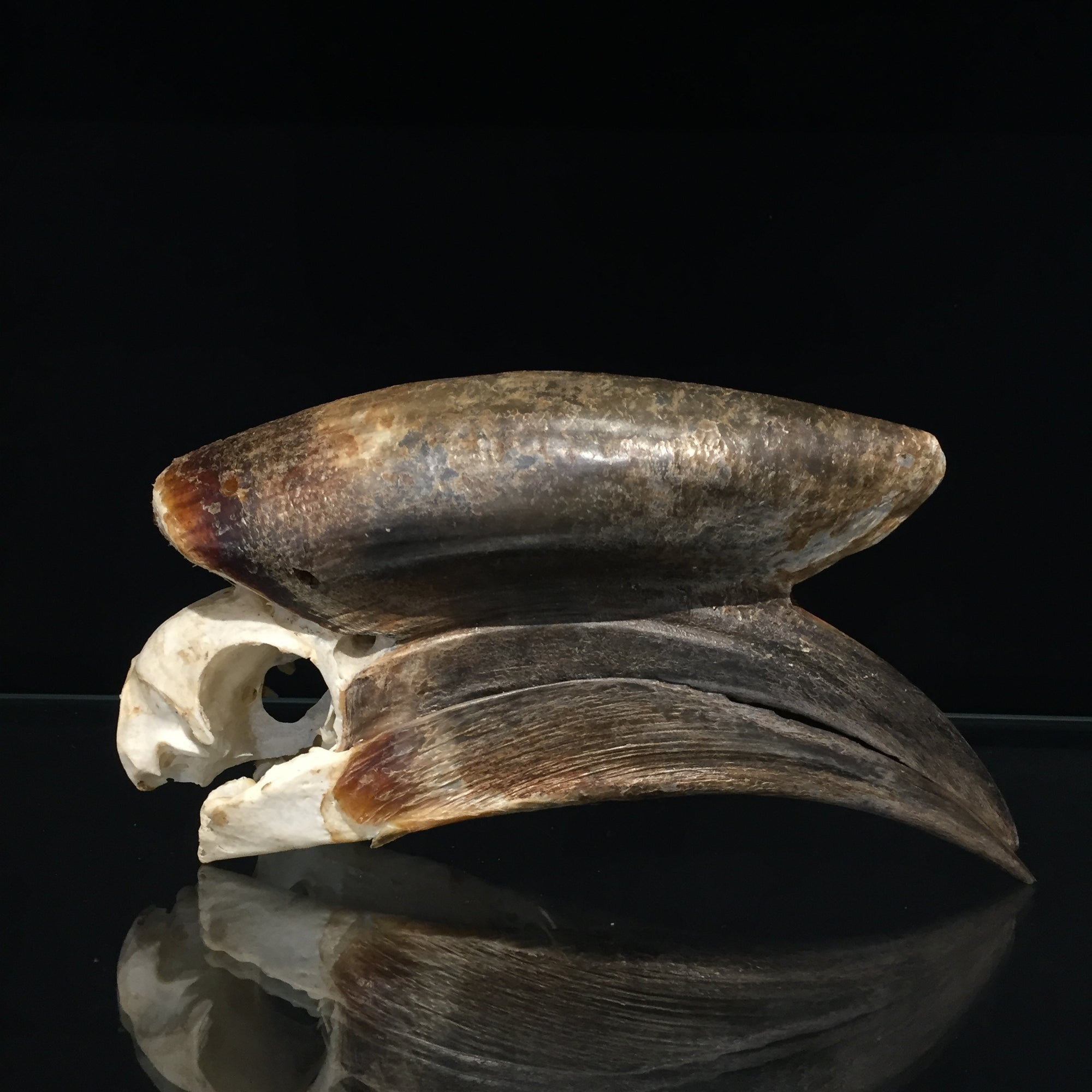 Male Black Casqued Hornbill Skull 2