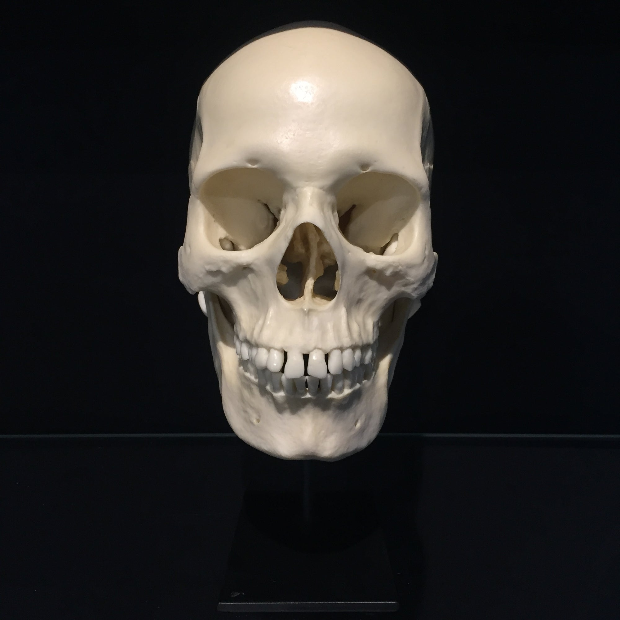 Human Female Skull Reproduction with Stand