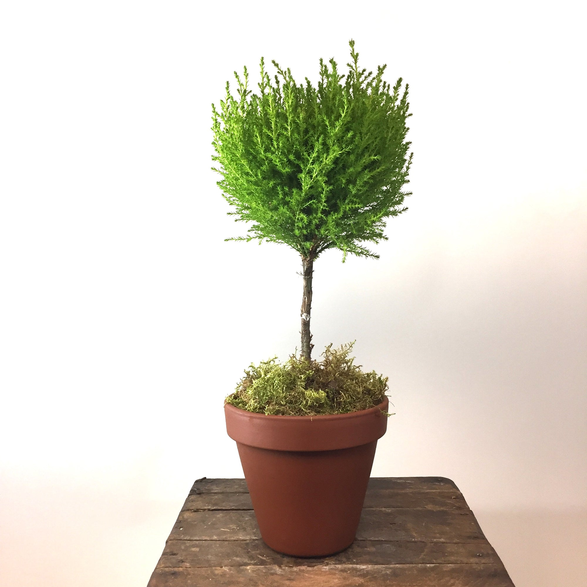 "Lemon Cypress Ball Topiary in 6"" Terracotta Pot"