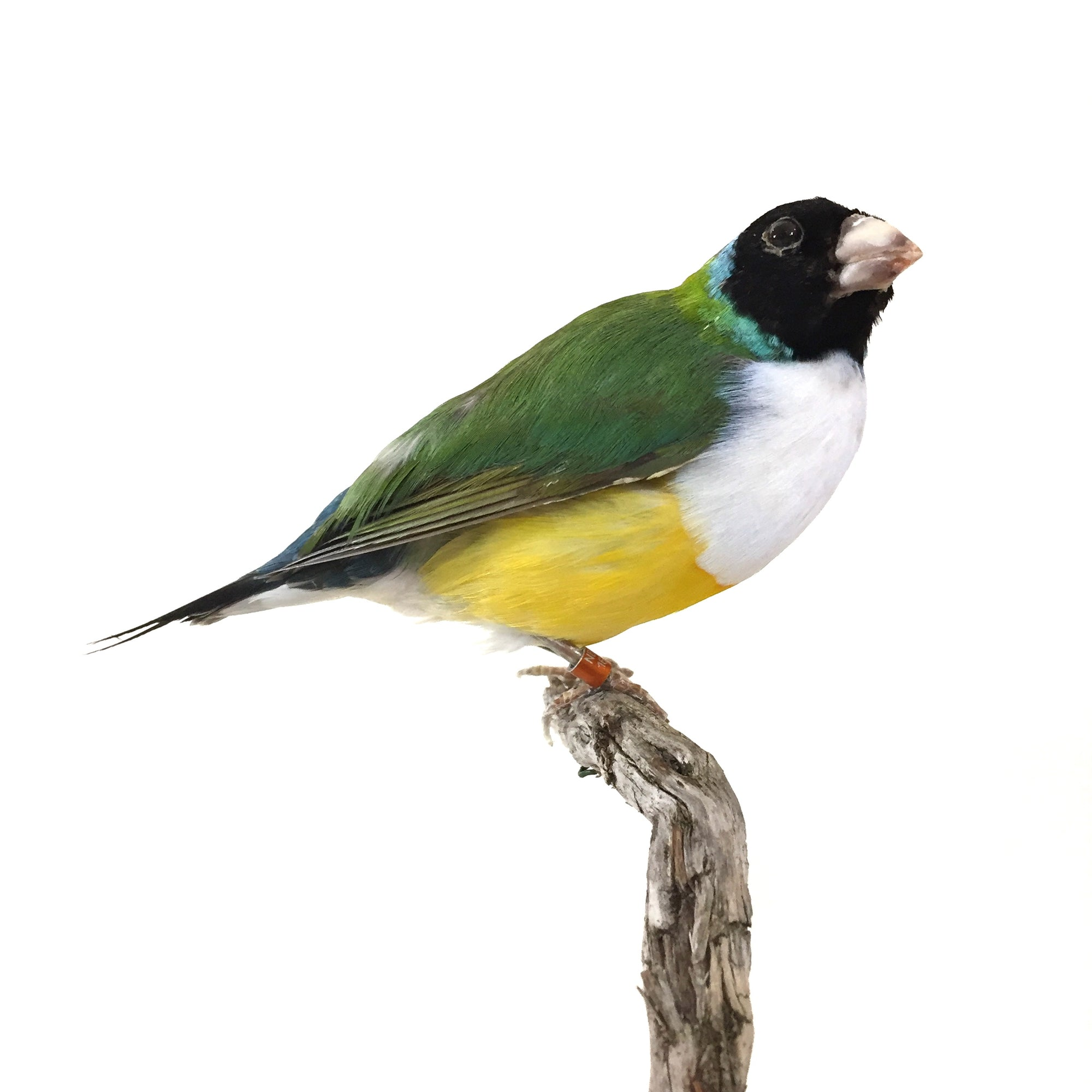 White Breasted Lady Gouldian Finch Taxidermy