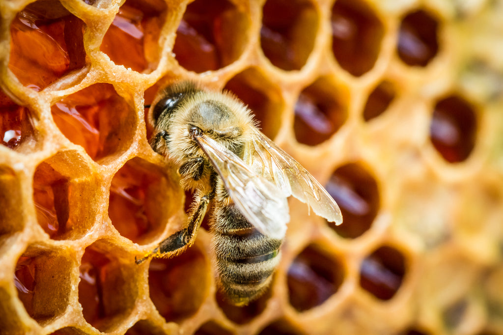 What is bee propolis?