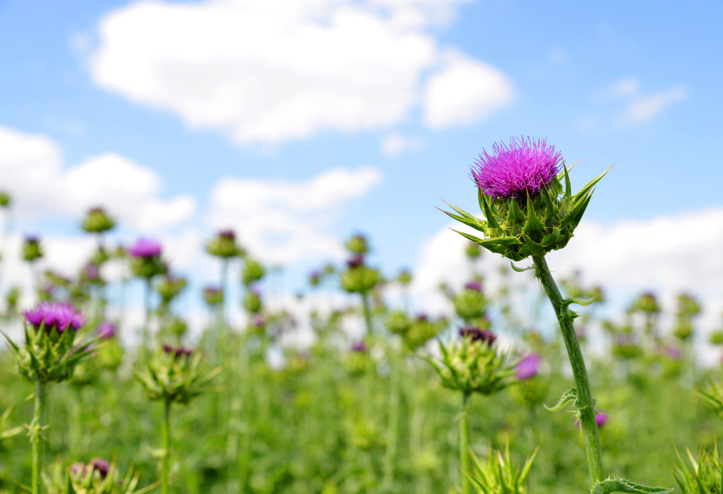 Milk thistle for hangovers