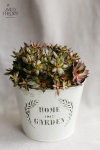 Home and Garden - For the Gardener – Hens and Chicks