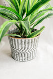 White Washed Metal Pot with Dracaena Lemon Lime Plant