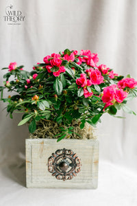 Rustic Finish Drawer with a flowering Azalea