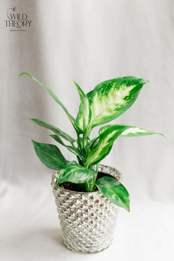 Silver Mercury Glass Vase with small Dieffenbachia plant