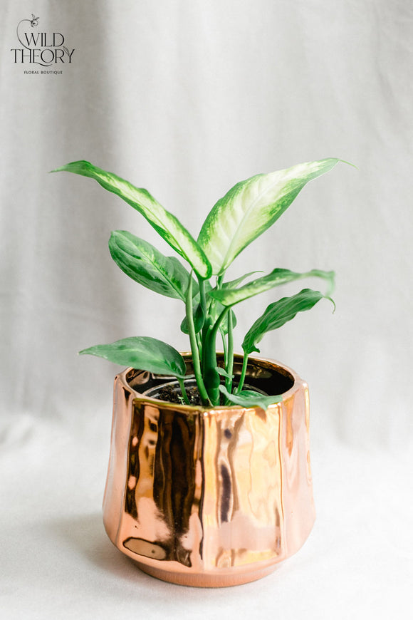 Copper Moet Pot with small Dieffenbachia plant
