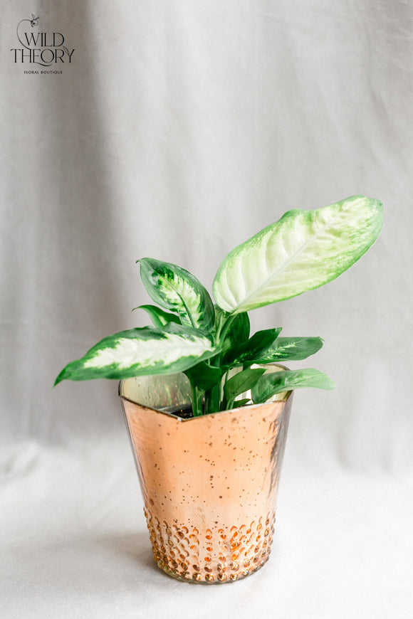 Rose Gold glass vase with small Dieffenbachia plant