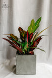 Personalize – Grey Concrete cube with Croton plant