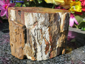 Polished Petrified Wood Fossil Branch.