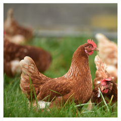 Grass Fed Chicken from Primal Grazing at Stacey's Larder Forest Row East Sussex