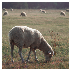Hoggett and Mutton from Primal Grazing Available at Stacey's Larder Forest Row