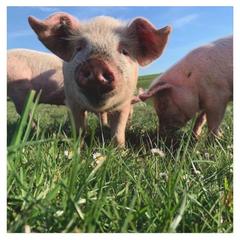 About Primal Grazing Pork sold at Stacey's Larder in East Sussex