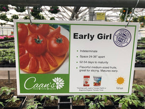 "4.5"" Tomato- Early Girl"